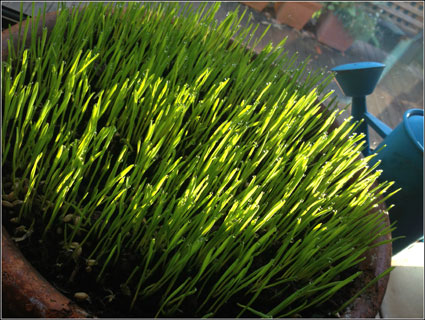 easter-grass-growning-2-pm-web