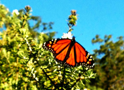 gloucester-butterfly-pm-web